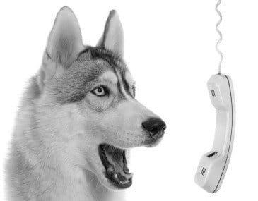 Husky dog talking into phone